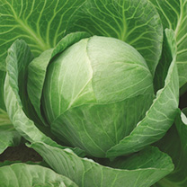 Cabbage Vivaldi F1 Seeds