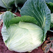 Cabbage Atlas F1 Seeds