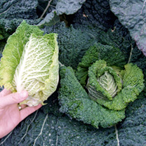 Cabbage Savoy Seeds - Continuity Duo Pack