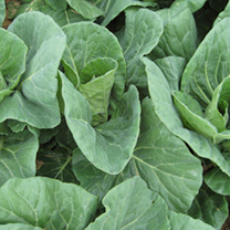 Cabbage Sparkel F1 Seeds