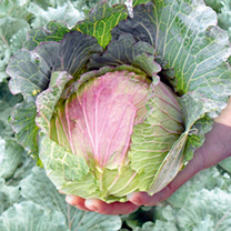 Cabbage Noelle F1 Seeds
