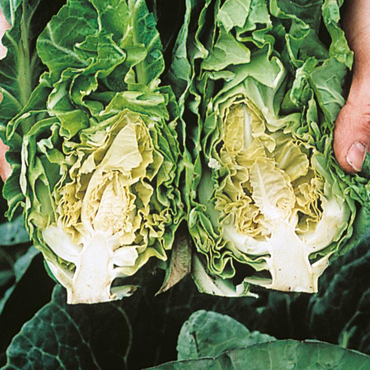 Cabbage Seeds - Sparkel F