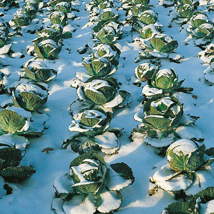 Cabbage Seeds -Tundra F1
