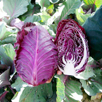 Cabbage Seeds - Tinty F1