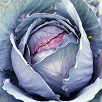 Cabbage Roderick F1 Seeds