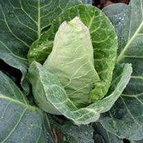 Cabbage Plants - Duchy F1