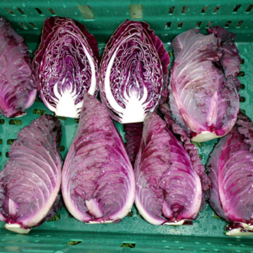 Cabbage Seeds - NIZ 45-852 F1