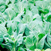 Cabbage Plants - Summer Green