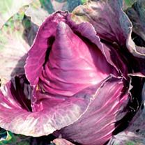 Cabbage Seeds - Kalibos