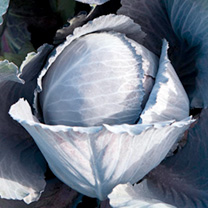 Cabbage Seeds - Lodero Red F1