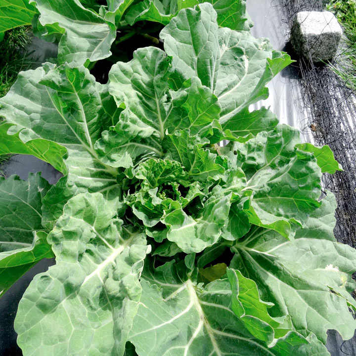 Cabbage/Collard Seeds - Teddie F1