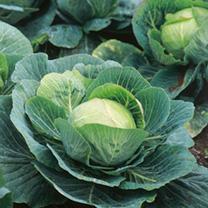 Cabbage Seeds - Kilazol F1