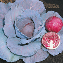 Cabbage Red Jewel F1 Seeds