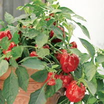 Pepper Redskin F1 Seeds
