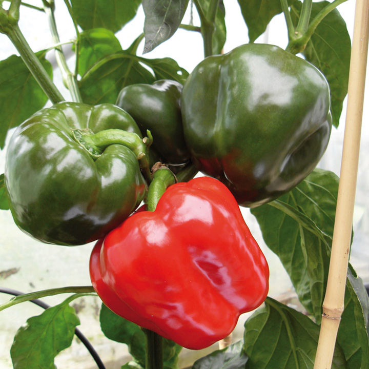 Pepper Grafted Plants - F1 Britney