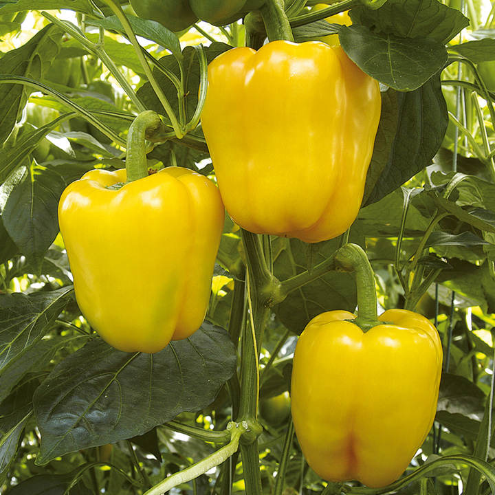Pepper Grafted Plant - F1 Chelsea