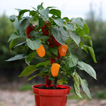Crate Kit - Pepper (Grafted) Traffic Light Plants, 3-Slat Crate