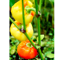 Pepper Grafted Plants - Almapaprika