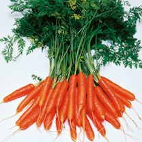 Carrot Seeds - Amsterdam Forcing 3 - Triple Pack