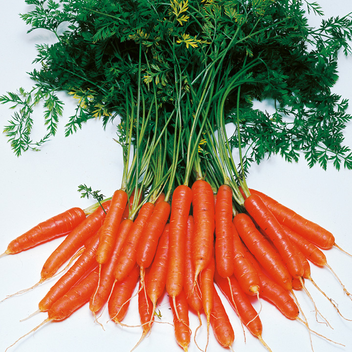Carrot Seeds Amsterdam Forcing 3 Triple Pack Dobies