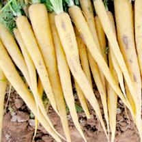 Carrot Seeds - Creampak F1
