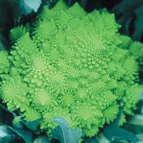 Cauliflower Plants - Lazio