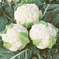 Cauliflower Seeds - Continuity Duo Pack