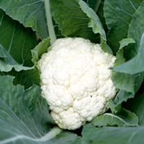 Cauliflower Mayflower F1 Seeds