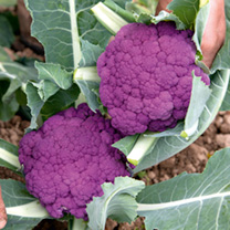 Cauliflower Purple Graffiti F1 Seeds
