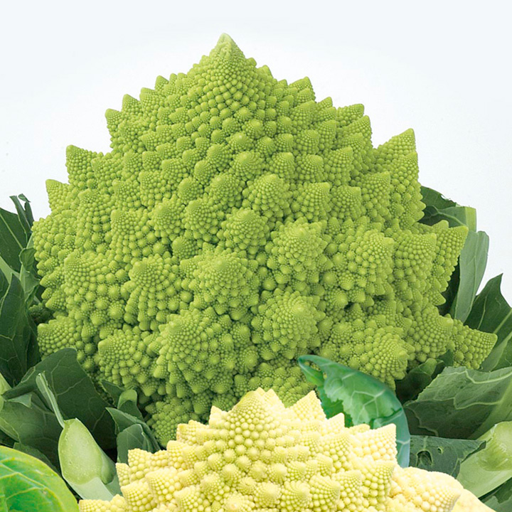Cauliflower Plants - Romanesco Early