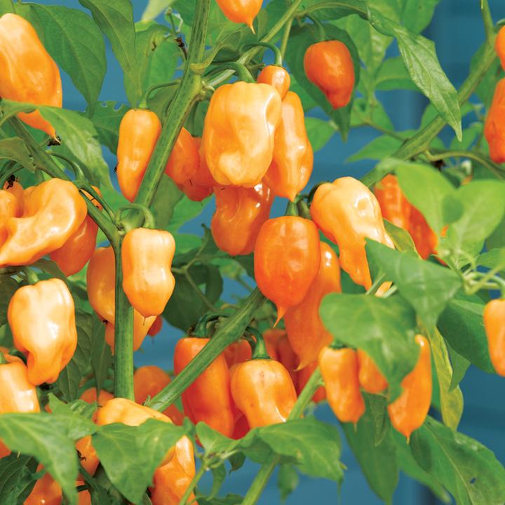 Pepper Chilli Plant - Habanero Orange