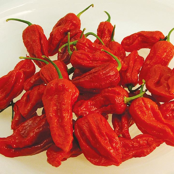 Pepper Chilli Plants - Bhut Jolokia