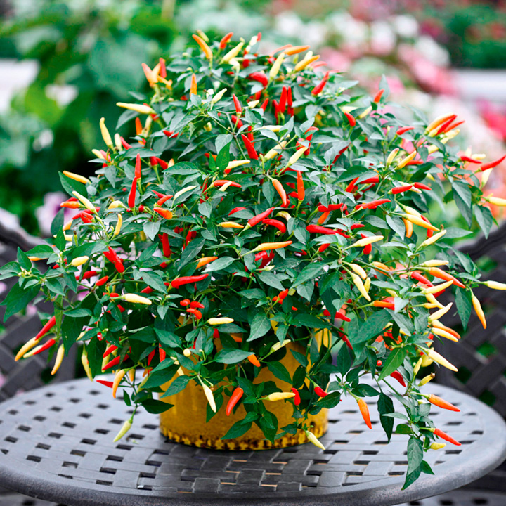 Pepper (Chilli) Plant - Basket of Fire
