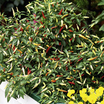 Pepper Chilli Seeds - Basket of Fire F1