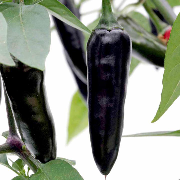 Pepper Chilli Seeds - Chenzo