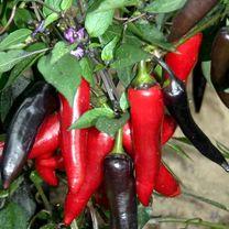 Pepper Chilli Plants - Vampire