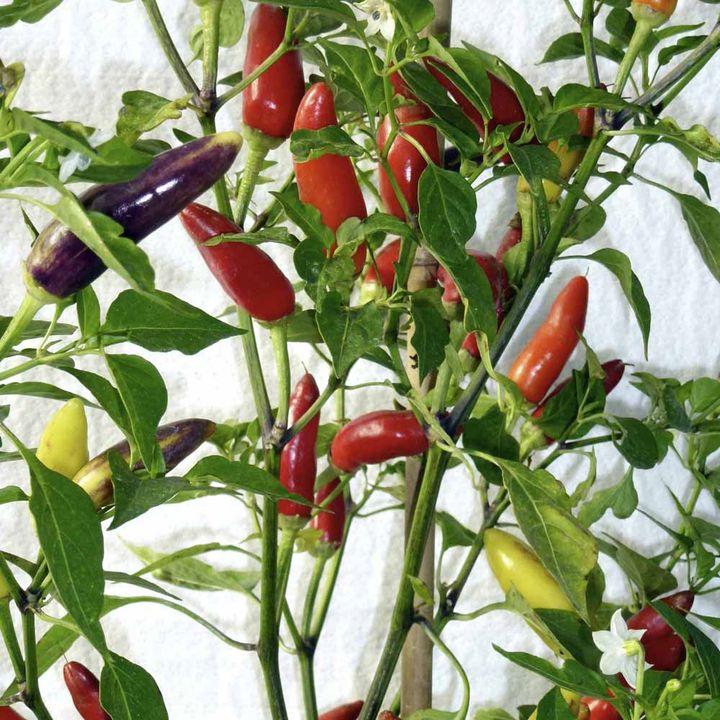 Pepper Chilli Seeds - Barak