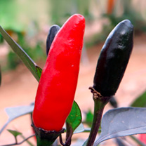 Pepper Chilli Grafted Plants - Zimbabwe Black