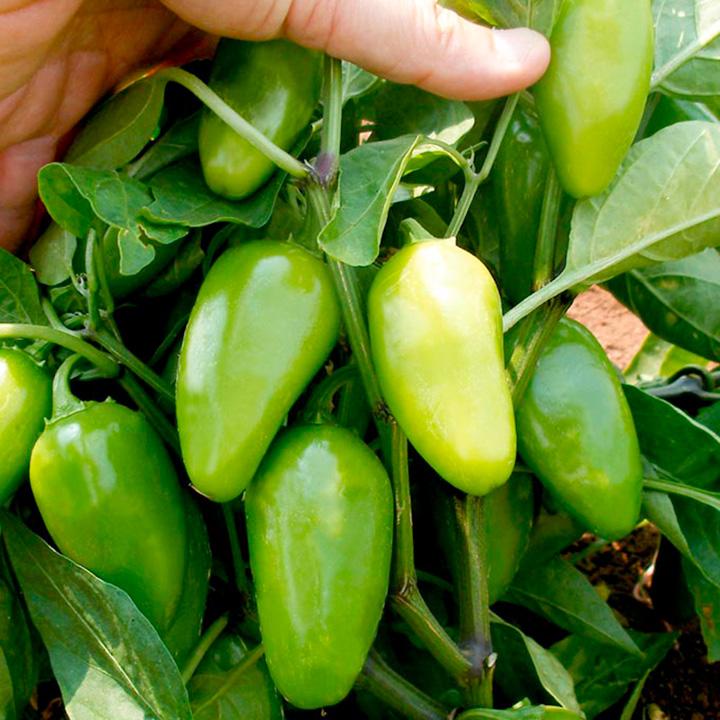 Pepper Chilli Plant - Raam