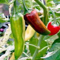Chilli Pepper Seeds - Fish