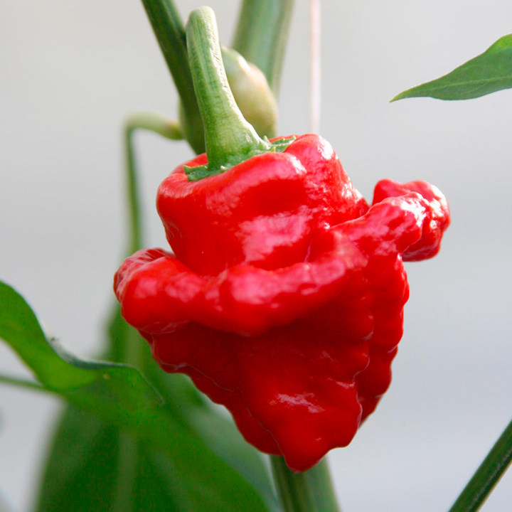 Pepper Chilli Plant - Scotch Bonnet Red