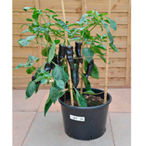 Pepper Grafted Plant - F1 Black Knight