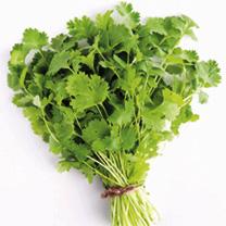 Herb Plant - Coriander, Common