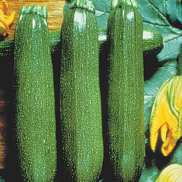 Courgette Plants - F1 Partenon