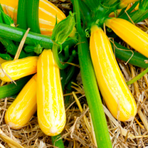 Courgette Plants - Goldmine