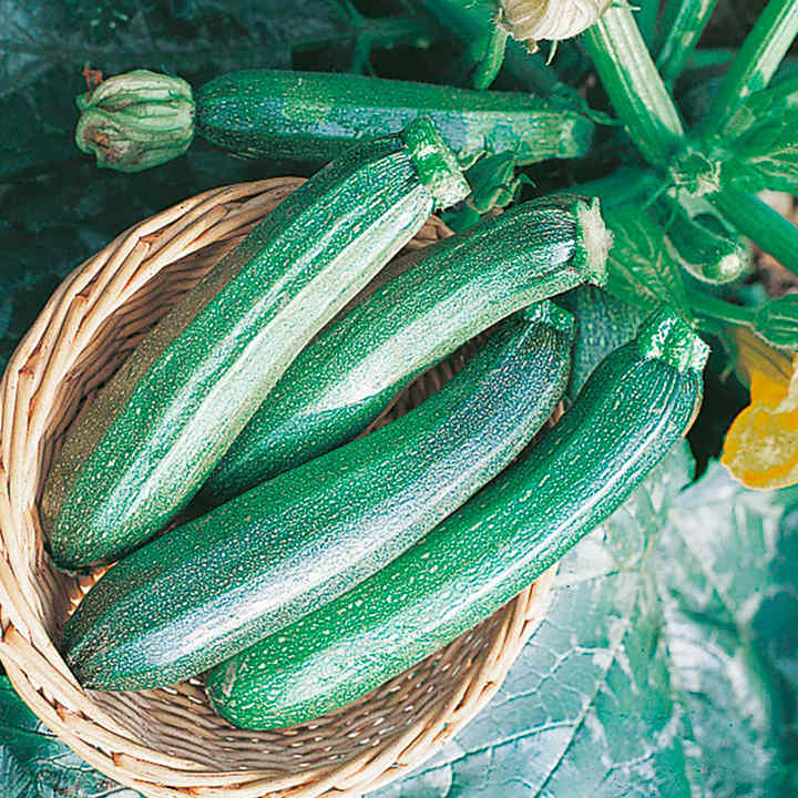Courgette Seeds - Zucchini F1