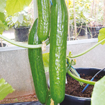 Cucumber Grafted Plants - F1 Carmen