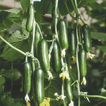 Cucumber Cucino F1 Seeds