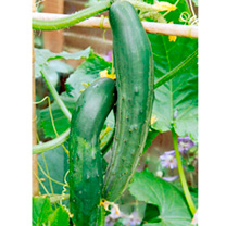 Cucumber Grafted Plants - Bush Champion