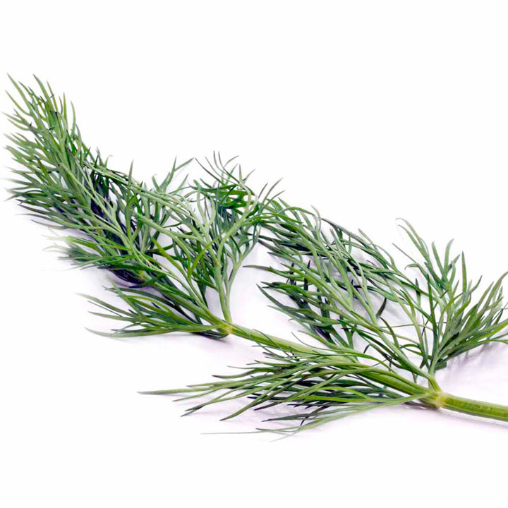 Herb Plant - Dill